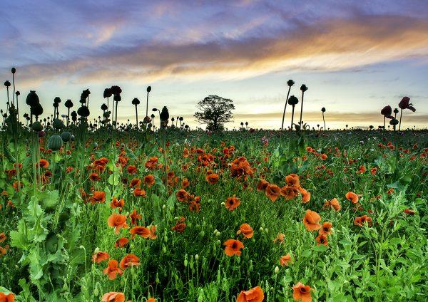 Poppy Field by David Jones